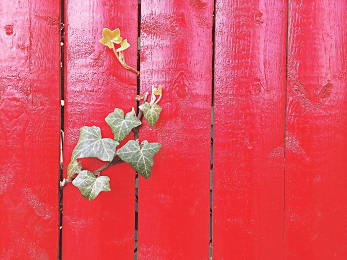 Ivy on Red Fence The EyeEm Facebook Cover Challenge