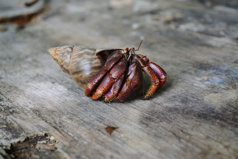 Hermit Crab Nature Outdoors Close-up Hermit Hermit Crab Jamaica Crab EyeEm Selects