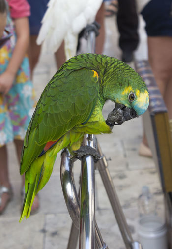 Domestic parrot in Dubrovnik Parrot Bird Vertebrate Animal Wildlife Focus On Foreground Animals In The Wild Real People Perching Animal Animal Themes Dubrovnik Croatia Dubrovnik, Croatia Incidental People One Animal Green Color Day Close-up People Outdoors Hand Human Body Part