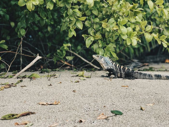 Beach time Wildlife Vacation Relaxation Beach Iguana Animal Themes Animal Wildlife Animals In The Wild Animal One Animal Vertebrate Nature Plant No People Land Reptile Day Sunlight Lizard Tree Outdoors Beauty In Nature