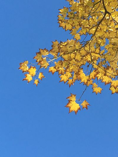 Low angle view of autumnal tree against blue sky