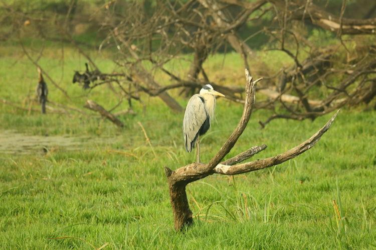 Grey Heron Bharatpur, Rajasthan Birds Of EyeEm  India Wildlife & Nature Wildlife Photography Bharatpur Bharatpurbirdsanctuary Bird Birds_collection Bridge Grey Grey Heron  Heron Be. Ready.