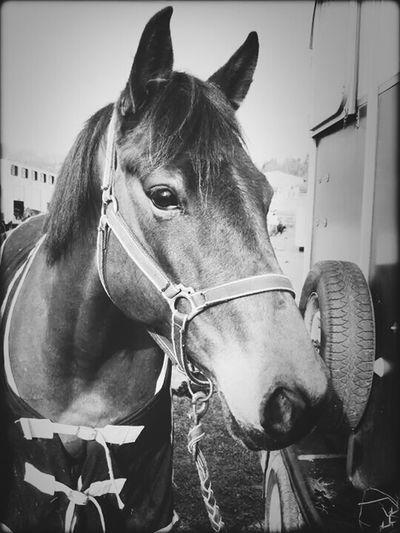 My Horse Qaïra ?