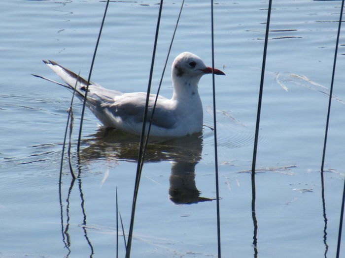 Seagull swimming in lake
