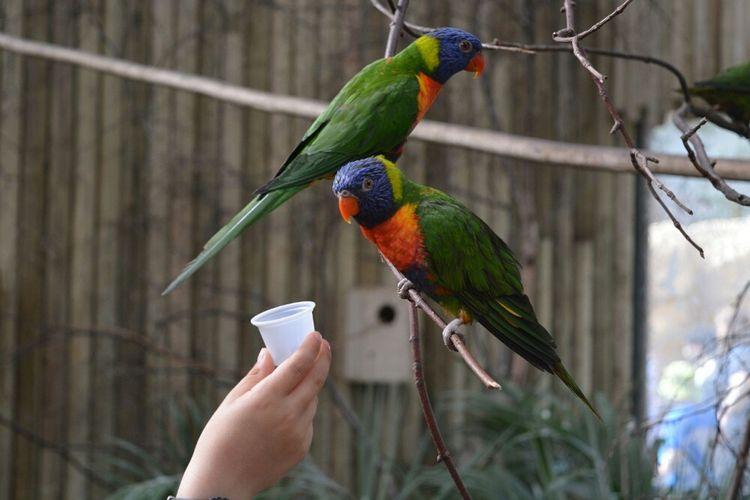 Rainbow Lorikeets Westmidlandssafaripark Westmidlandssafari Rainbow Lorikeet Birds Colourful