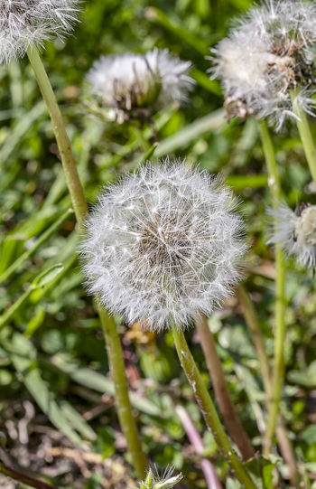 A dandelion seed head before blooming into a yellow flower. Flower Flowering Plant Plant Fragility Vulnerability  Freshness Growth Close-up Dandelion Beauty In Nature Nature Focus On Foreground Flower Head White Color No People Day Dandelion Seed Taraxacum Officinale Wishes Blowball Flora Asteraceae Weed Perennial