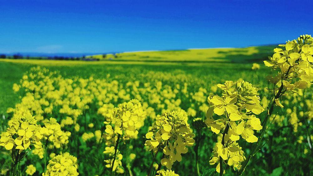 Field Of Flowers Flowerlovers Flower Collection Mustard Fields
