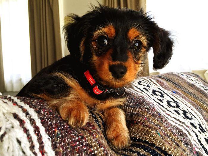 ミックス犬 ダックスフンド 犬 Dachshund-cross Dachshund Crossbreed Hybrid Dog Puppy 仔犬 Chihuahua Yorkie Yorkshire Terrier チワワ ヨークシャテリア ヨーキー