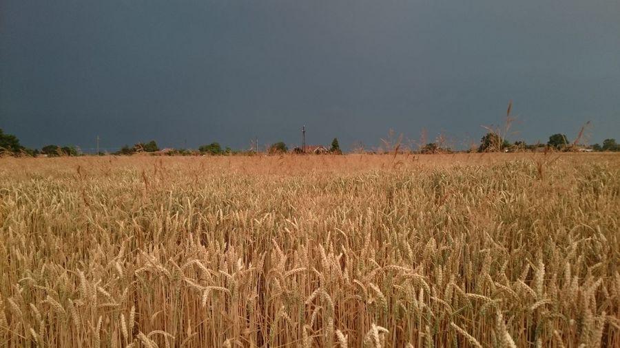 Crop on field