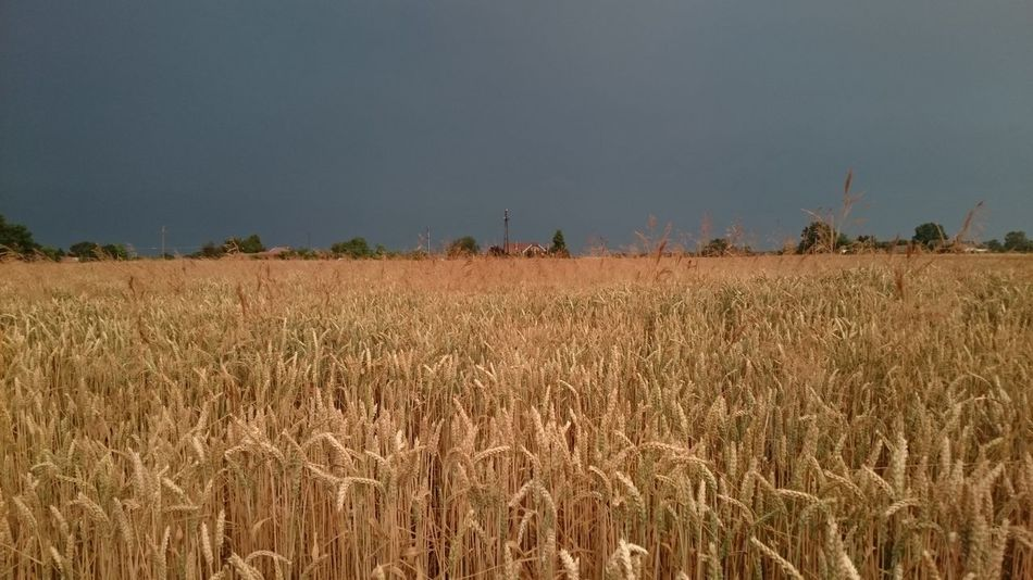 Agriculture Beauty In Nature Cereal Plant Cultivated Land Field Growing Growth Horizon Over Land Idyllic Landscape Nature No People Non-urban Scene Plant Remote Rural Scene Scenics Sky Tranquil Scene Tranquility Wheat