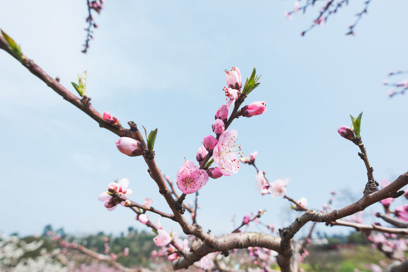 peach blossom in spring chengdu longquanyi Plant Flower Flowering Plant Growth Tree Pink Color Beauty In Nature Fragility Vulnerability  Freshness Nature Branch Focus On Foreground Day Close-up Blossom Bud No People Springtime Low Angle View Outdoors Spring Flower Head Cherry Blossom Cherry Tree Peach Blossom Peach Tree Peach Spring Flowers Pink Flower Chengdu Longquanyi