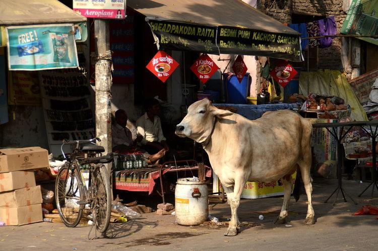 Delhi India Paharganj City Cow Daily Life Day Domestic Animals Main Bazaar Market Men