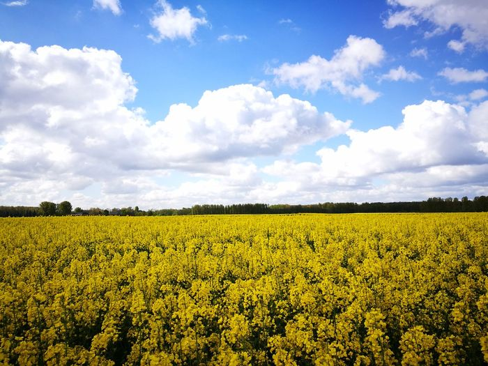 Agriculture Field Crop  Rural Scene Cloud - Sky Sky Flower Farm Plant Abundance Nature Beauty In Nature Growth Yellow Blue Landscape Day Tranquility Summer Outdoors