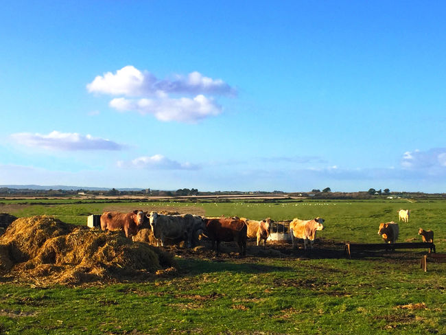 Animal Themes Beach Blue Calves Countryside Cows Farm Fields Ireland Sky Spring