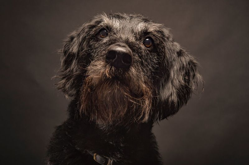 Murphy Labradoodle Dog One Animal Pets Domestic Animals Mammal Animal Themes Portrait Studio Shot Looking At Camera No People