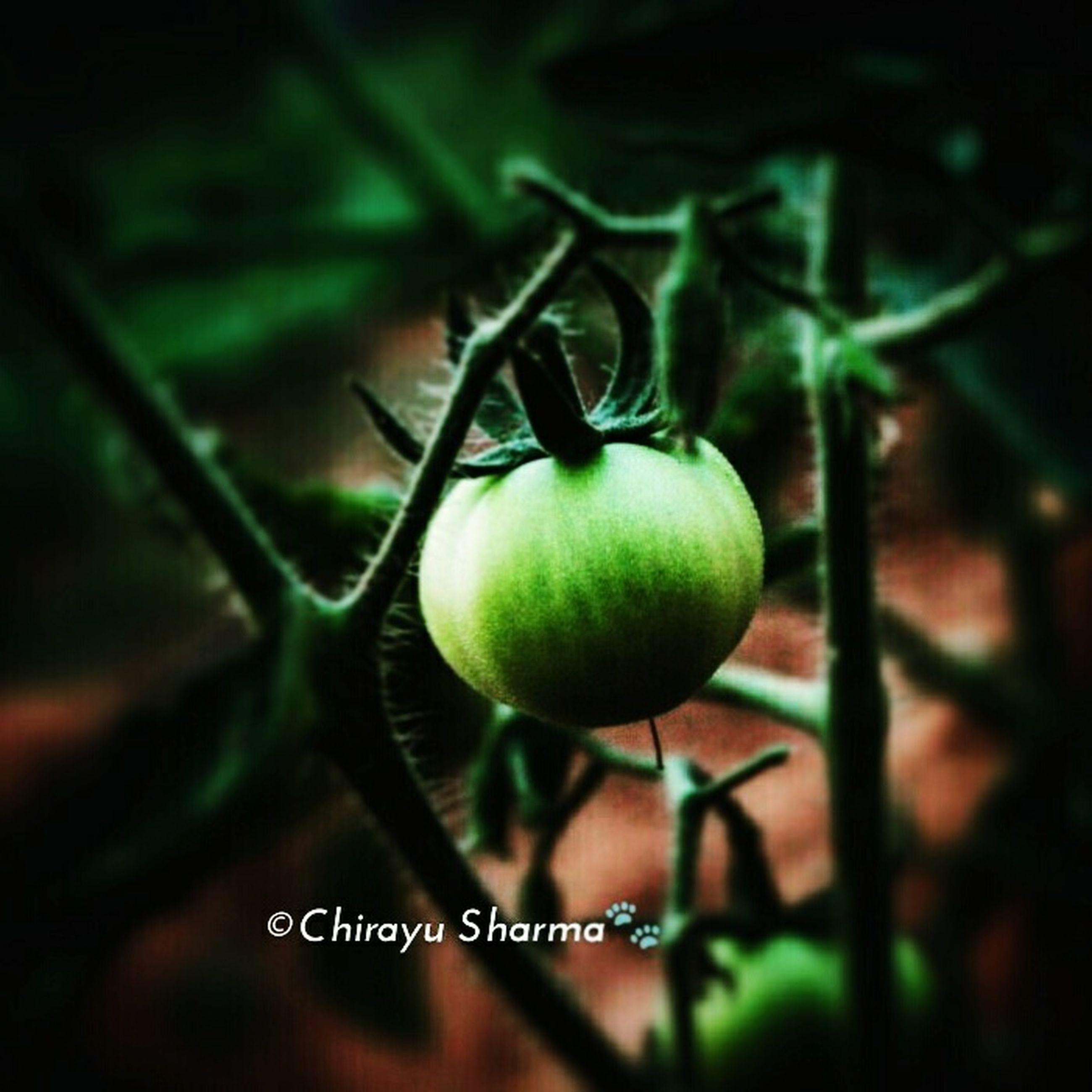 fruit, food and drink, healthy eating, food, green color, freshness, close-up, focus on foreground, growth, ripe, hanging, apple - fruit, apple, organic, leaf, stem, branch, green, no people, plant