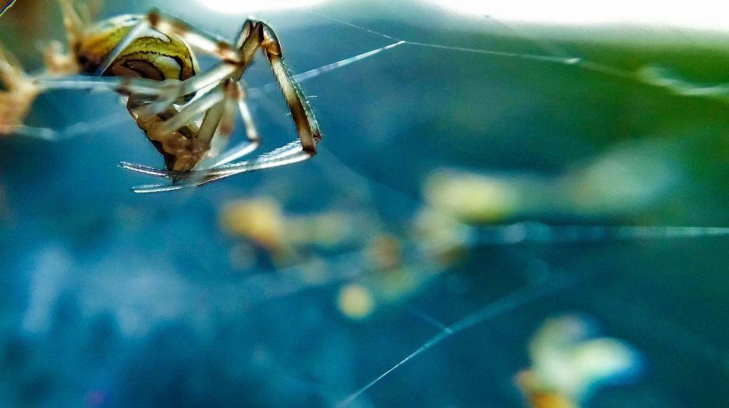 Attack Of The Macro Collection! Arachnophobia Insect Paparazzi EyeEm Macro Macro Brown Widow Bug Portrait Showcase: November Macro_collection Macro Photography Spider Spiderworld Macro Beauty