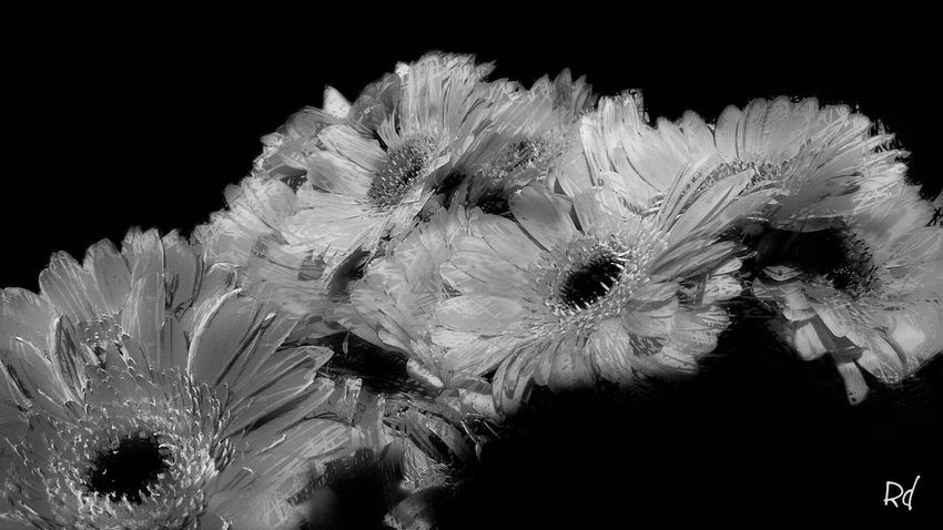 Gerbera's Plant Flowering Plant Freshness Fragility No People Vulnerability  Flower Head Petal