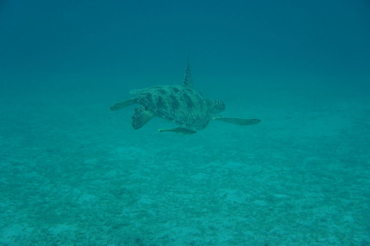 Fly away Sea Turtle Animal Themes Animal Wildlife Nature No People One Animal Outdoors Sea Sea Life Sooc Underwater
