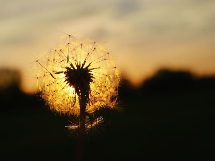 Close-up of dandelion against sky at sunset