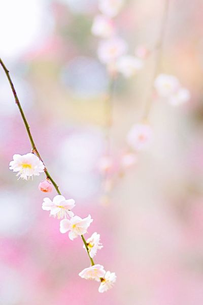 "Shot on α77 DSLR → iPhone photo editing ""vivid"" The saturation too high! Bokeh Photography DSLR Japanese Plum Blossom Flower Fragility Growth Beauty In Nature Springtime Pink Color"