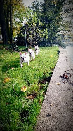 French bulldog Illusion pack of dogsSpree Riverside
