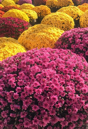 Autumn Autumn Colors Autumn Mums Mums Autumn Colours Flowers Flowers, Nature And Beauty September October Pumpkin Patch Fall Beauty Fall Leaves Fall Colors Large Mums EyeEm Eye4photography