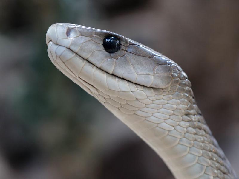 Animal Body Part Animal Eye Animal Themes Animal Wildlife Animals In The Wild Close-up Mamba One Animal Outdoors Schlange  Snake