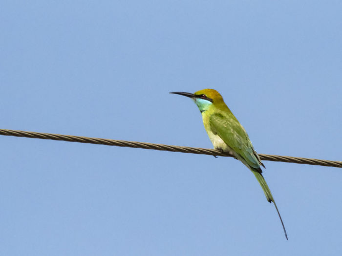 Green Bee-eater (Merops orientalis) Animal Themes Bird Animal Animal Wildlife Vertebrate One Animal Animals In The Wild Clear Sky Sky Perching Blue No People Day Low Angle View Copy Space Cable Nature Outdoors Full Length