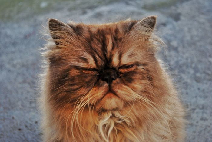 Domestic Cat One Animal Mammal Pets Animal Themes Domestic Animals Feline No People Close-up Outdoors Day Persian Cat  Nature