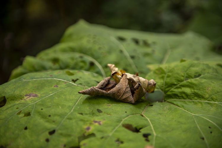 Close-up of crab on dry leaf