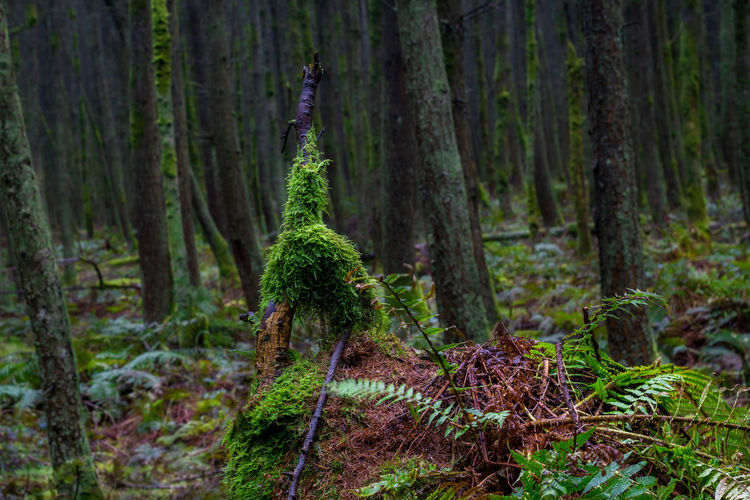 WoodLand Forest Tree Plant Tree Trunk Trunk No People Nature Day Outdoors Land Growth Tranquil Scene Tranquility Beauty In Nature Non-urban Scene Environment Pine Woodland Evergreen Tree Fern Isle Of Man Cringle Plantation