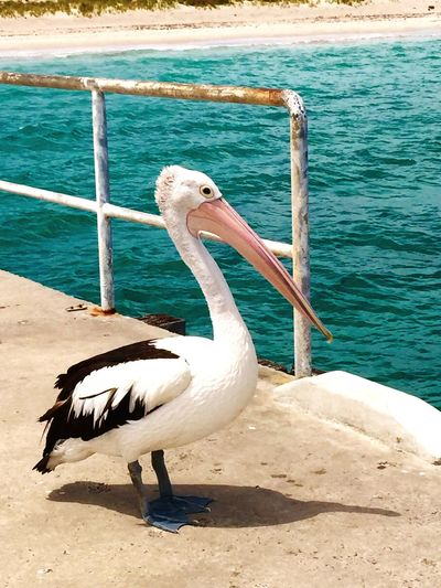 Pelican in Profile Pelican Indian Ocean Wildlife Photography Pelican Jetty Isolated Australia Pelican Pelican Birds Australian Wildlife