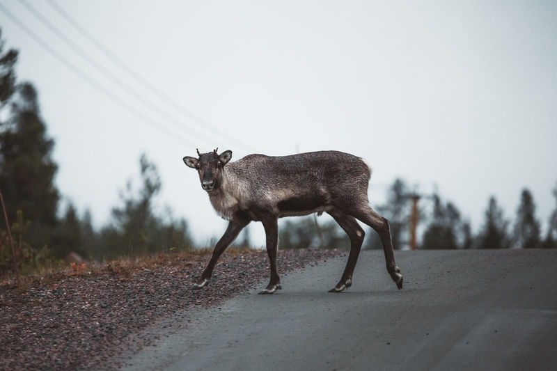 Side view of deer standing on road against sky