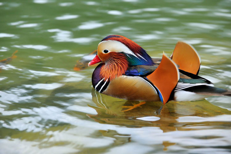 Cute and beautiful mandarin duck, free to play in the water. Laid Back Natural Ecosystems Abundant Animal Themes Animal Wildlife Animals In The Wild Beautiful Feathers Beauty In Nature Bird Birds Color Colorful Day Duck Laid Back Lake Mandarin Duck Multi Colored Nature No People One Animal Outdoors Swimming Water Waterfront