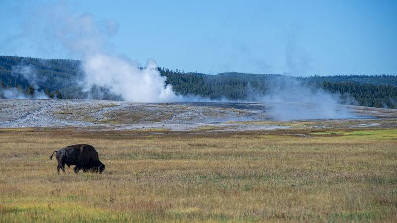 Buffalo Yellowstone National Park Animal Themes Animal Wildlife Animals Animals In The Wild Bison, Buffalo, Blackbirds, Wyoming, Wild, Animal, Horns, Fur, Raw, Day Mammal Mammals Nature No People Outdoors Wildlife Wildlife And Nature