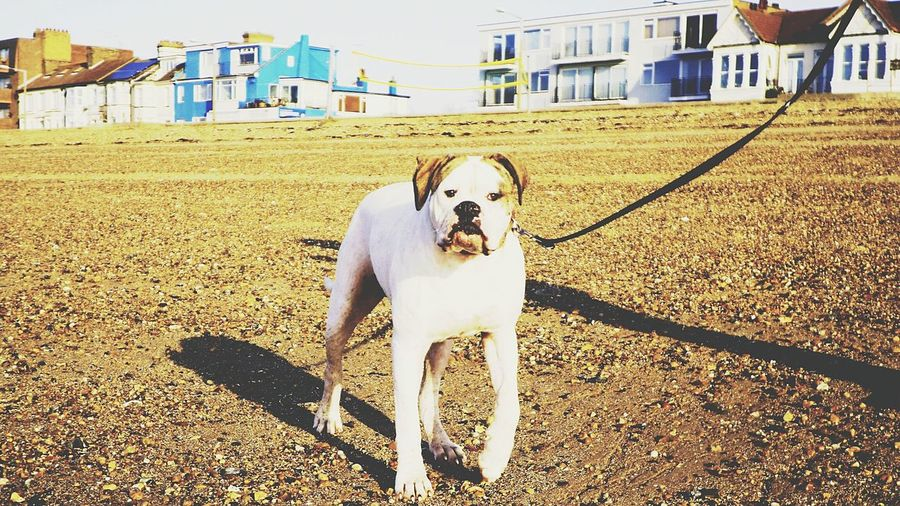 Hello World Walking The Dog American Bulldog I Love My Dog Check This Out Photosofrm15 Southend On Sea Essex