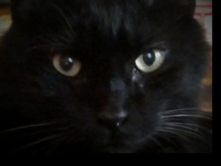 Black Color Close-up Green Eyes Pets Watching Domestic Cat