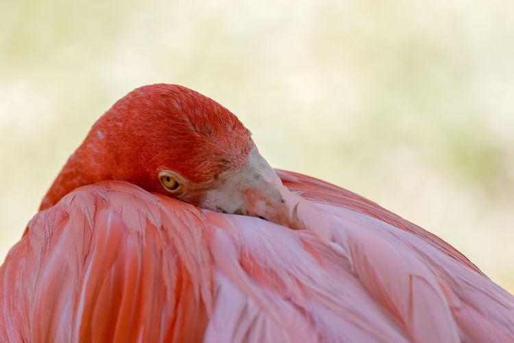 Close-up of flamingo