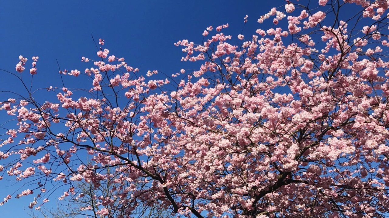 flower, blossom, tree, springtime, fragility, beauty in nature, branch, freshness, low angle view, nature, botany, pink color, growth, no people, day, sky, outdoors, clear sky, blue, backgrounds, close-up, flower head