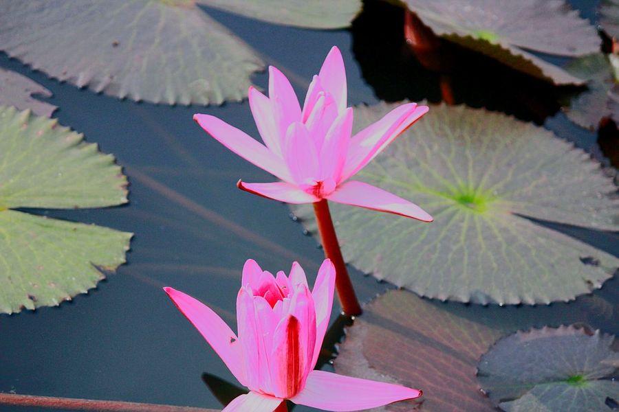 Lotus Flower Pink Wilderness Pond Open Edit