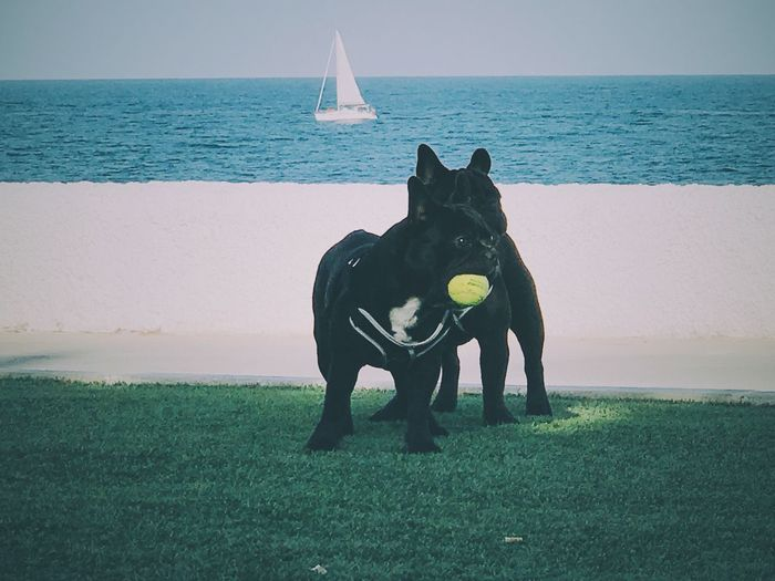 Boston terriers playing with ball on grassy field against sea