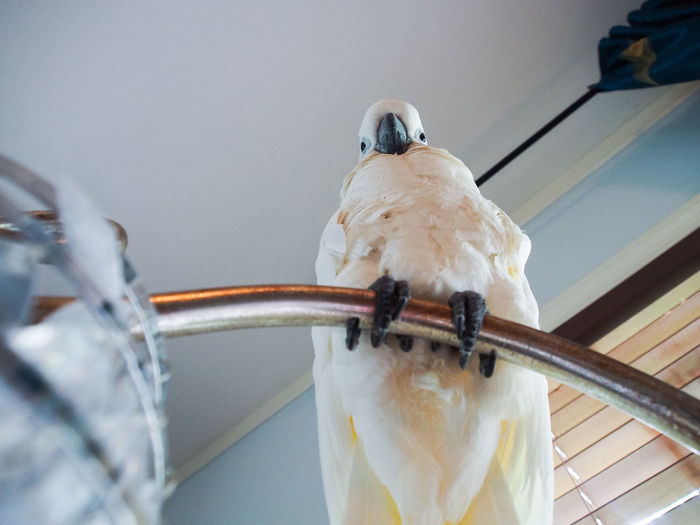 Clara the cockatoo Cockatoo Low Angle View Animal Themes Bird Close-up Day Domestic Animals Exotic Pets No People One Animal Perching Talons White Color