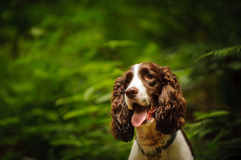 Close-up of welsh springer spaniel panting while standing in park