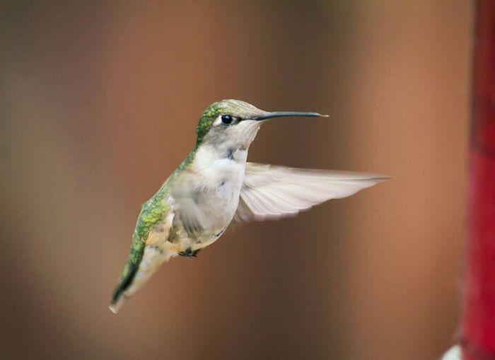 Close-Up Of Hummingbird