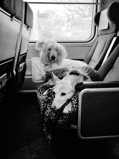 Dog sitting in train