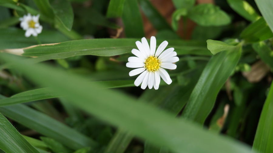 white flower Flower Flowering Plant Freshness Vulnerability  Beauty In Nature Flower Head Close-up Green Color White Color Nature Selective Focus Outdoors