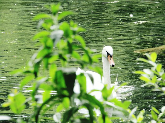 Taking Photos Swans ❤ Ducks And Swans Duck Pond Ducks Birds_collection Nature Photography Beautiful Nature