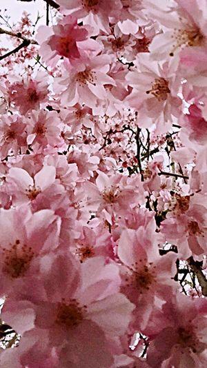 2016cherryburassamu🌸🌸🌸 Japan Walking Alone... 枝垂れ桜 Cloudy Sky