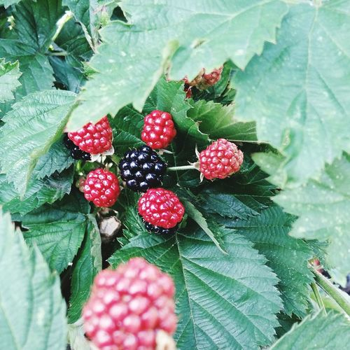 Blackberry Bush Close Up. Featuring Blackberry Bush Close-up Blackberries Fruit Leaf Growth Green Color Freshness Food And Drink Healthy Eating Plant Red Nature Food Outdoors No People Day Water Beauty In Nature Tree